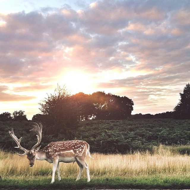 01 RICHMOND PARK ... I hope y'all had a great weekend. emojiemoji #richmondpark#streetphotography#parklife#latergram#stag#deer (c) @mrwhisper