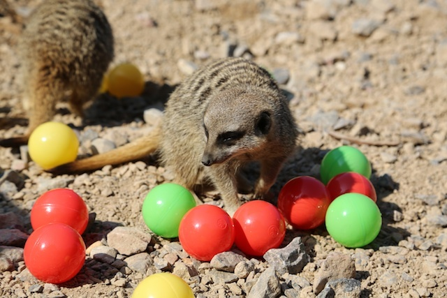 meerkats-enjoy-hidden-treats-ahead-of-little-creatures-festival-c-zsl-1.jpg