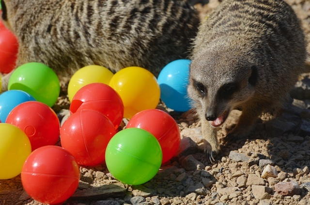 meerkats-enjoy-hidden-treats-ahead-of-little-creatures-festival-c-zsl-2.jpg