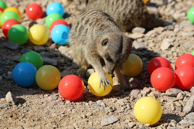 meerkats-enjoy-hidden-treats-ahead-of-little-creatures-festival-c-zsl-3.jpg