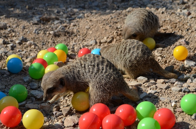 meerkats-enjoy-hidden-treats-ahead-of-little-creatures-festival-c-zsl-4.jpg