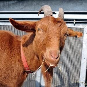 goat_081013