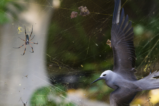 Location: Cousine Island, Seychelles  Caption: This noddy was trapped in a spider web and still alive when I saw it. Birds getting trapped in webs happen quite often on the islands of the Seychelles as these webs are extremely strong. I'm not sure if it is possible for the spider to eat such a big bird though.  Technique: On foot