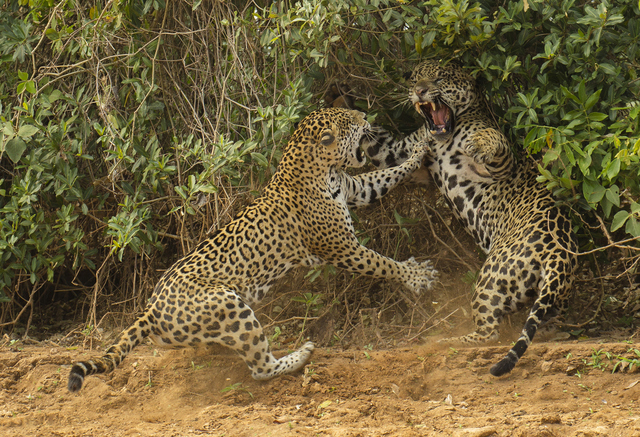 Jaguar, Panthera onca, the male was following a female to mate but this time she objected and attacked, in a spat that lasted 4 seconds. Pantanal, Brazil, South America