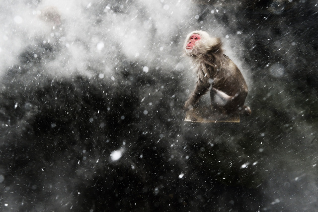 Macaca fuscata  Jigokudani, Japan  Japanese macaque in blizzard