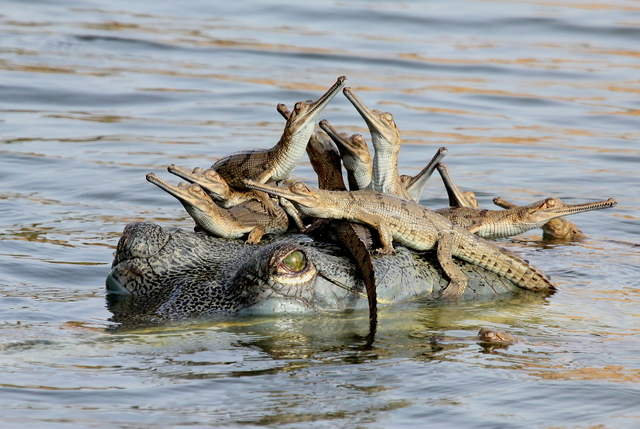 Mother's little headful Winner: 11-14 Years Udayan Rao Pawar Wildlife Photographer of the Year 2013