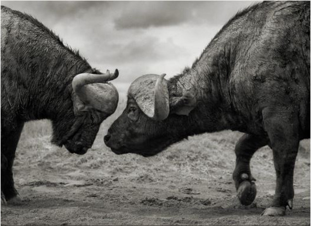 Buffalos Head to Head (Nick Brandt)
