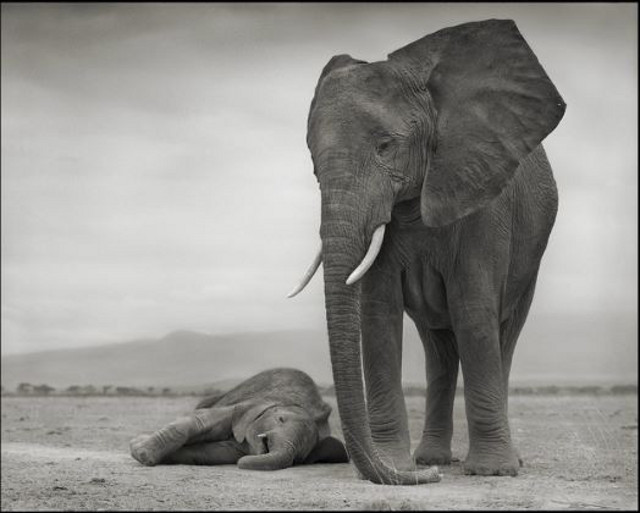 Elephant Mother with Baby Sleeping (Nick Brandt)