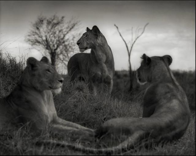 Lion Circle (Nick Brandt)