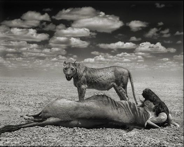 Lioness and Wildebeest (Nick Brandt)