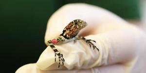London Zoo's Newly Hatched Spiny-Headed Tree Lizards