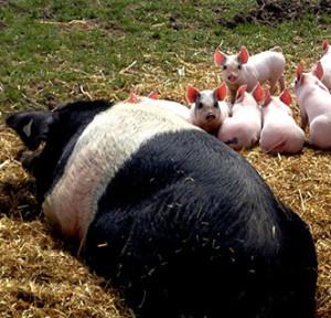 the-pig-idea