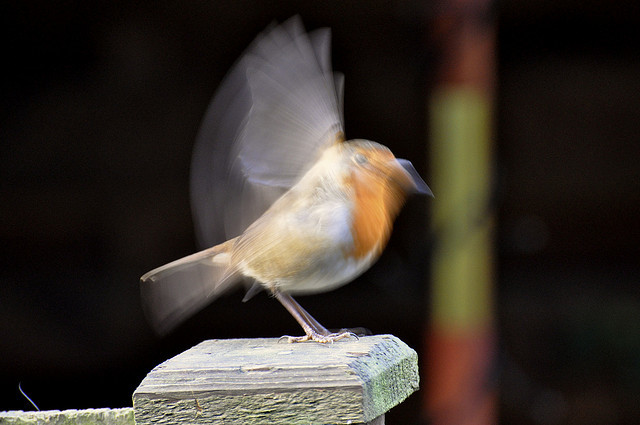 Robin taking flight by Matt Walsh