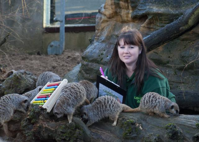 Meerkats help the count with their abacus
