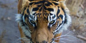 The Friday Photos: Tiger Tiger