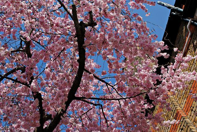 Cherry blossom in Ealing by HoosierSands
