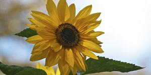 Go Guerilla Gardening And Plant Sunflowers