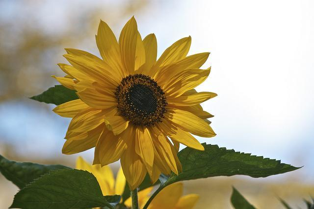 sunflower_280414