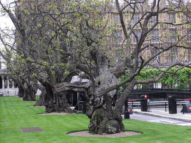 Old trees in the grounds of the Houses of Parliament, by oatsy40 on Flickr