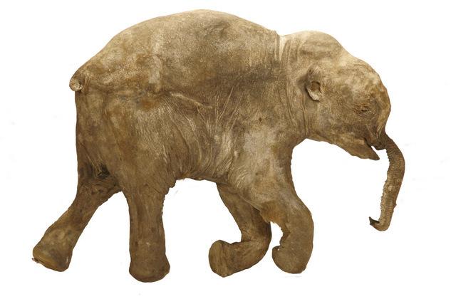 Lyuba, the world's most complete mammoth Mammuthus primigenius © International Mammoth Committee/Francis Latreille