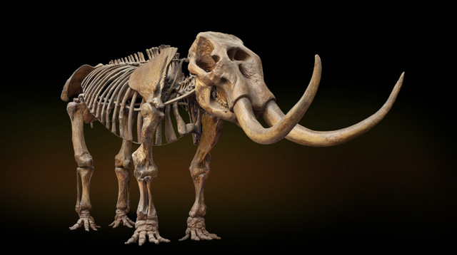 Mastodon Skeleton. Copyright NHM London