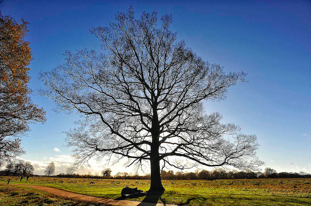 Tree in Richmond Park, by Mike King on Flickr