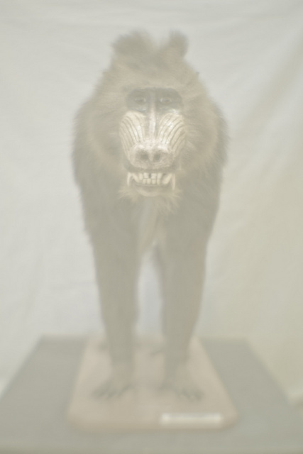 Mandrillus sphinx (Mandrill), Natural History Museum. Image courtesy of the artist and Kristin Hjellegjerde