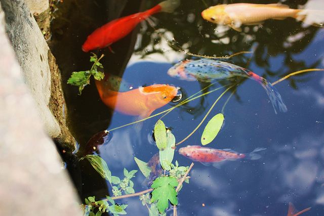 Colourful fish pond, by Stephanie Sadler