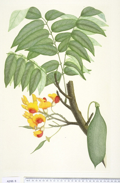 Castanospermum austral  Sydney Parkinson [after] Print The Trustees of the Natural History Museum Alecto Editions