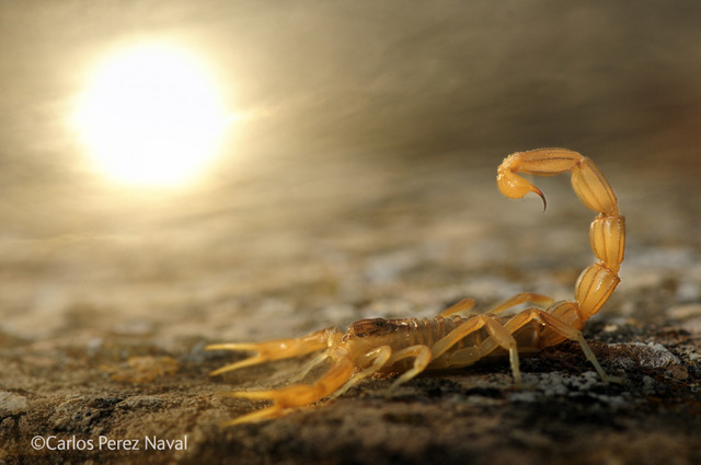 This yellow scorpion has raised its tail into a defensive position in reaction to the photographer. The image was the winner of the Young Wildlife Photographer of the Year competition.