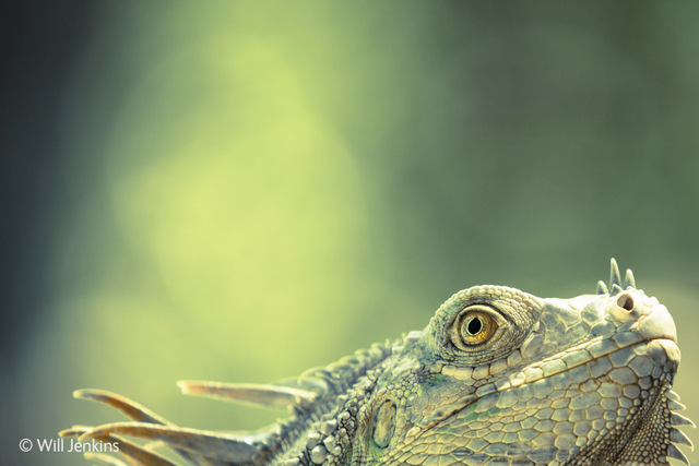 A green iguana, captured sunbathing on a rock before heading back to the beach.