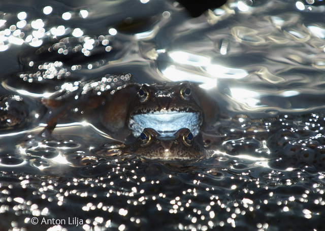 Common Frogs (Rana temporaria) breeding in a waterpuddle surrounded with spawn, Byske, Vasterbotten, Sweden