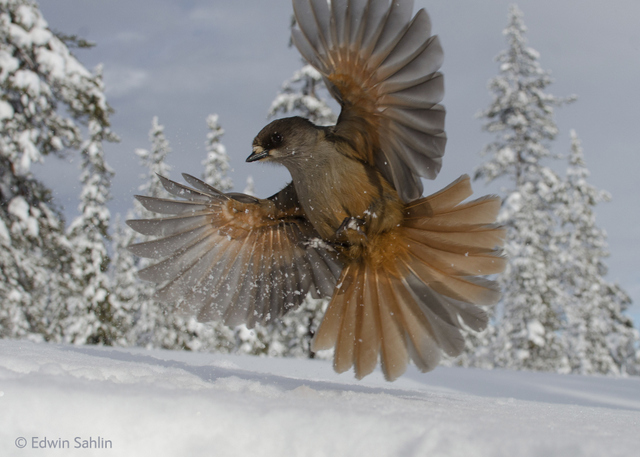 The photographer dug a pit in the snow and used cheese and sausages to encourage this Siberian jay to swoop down.