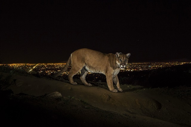 A cougar walking a trail in Los Angeles' Griffith Park is captured by a camera trap. To reach the park, which has been the cougar's home for the last two years it had to cross two of the busiest highways in the US. Photo: Steve Winter, USA