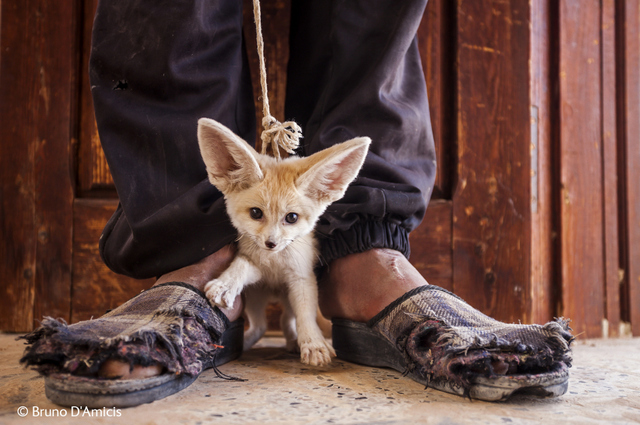 This three month old fennec fox is up for sale, after having been dug up from its den in the Sahara. Killing or catching fennec foxes is illegal in Tunisia but still widespread.