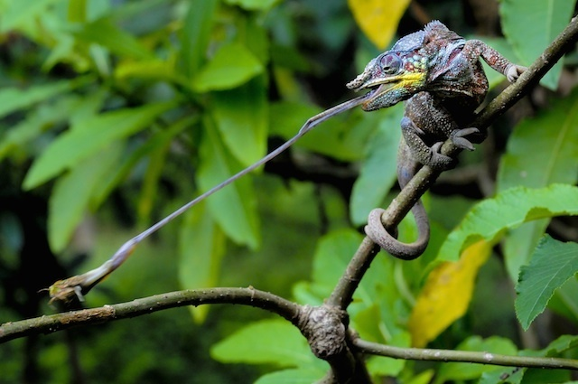 Simone Sbaraglia's winning shot of a panther chameleon