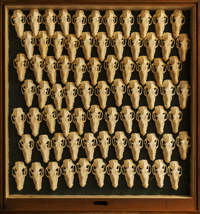Tray of bat skulls.