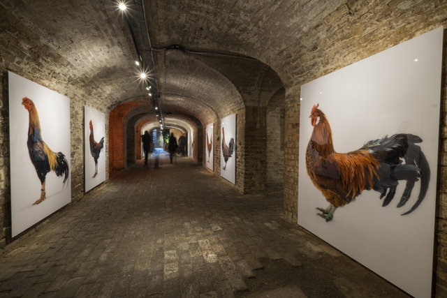 Large portraits of some of the chickens celebrate these domestic fowl in a manner usually reserved only for people. © Koen Vanmechelen. Photo: Alex Deyaert