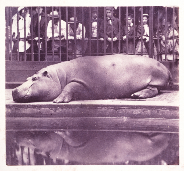 A hippopotamus at London Zoo. One of the earliest uses of photography was to document animal and plant life. Copyright National Media Museum.