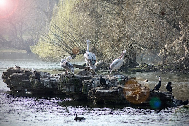 A mixture of birds in St James's Park in spring last year. Photo: David Abbs