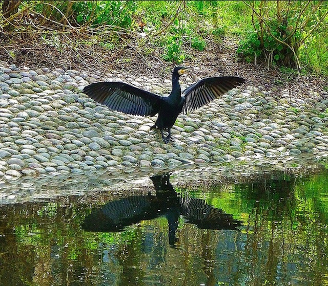 A cormorant drying his wings in Mile End Ecology Park. Photo: helenoftheways