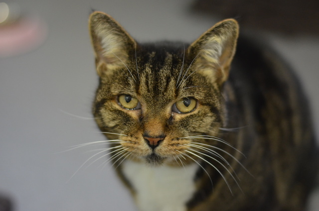 Maude is a 10 year old Domestic Short-Hair cat who would fit into a home without children or other pets.