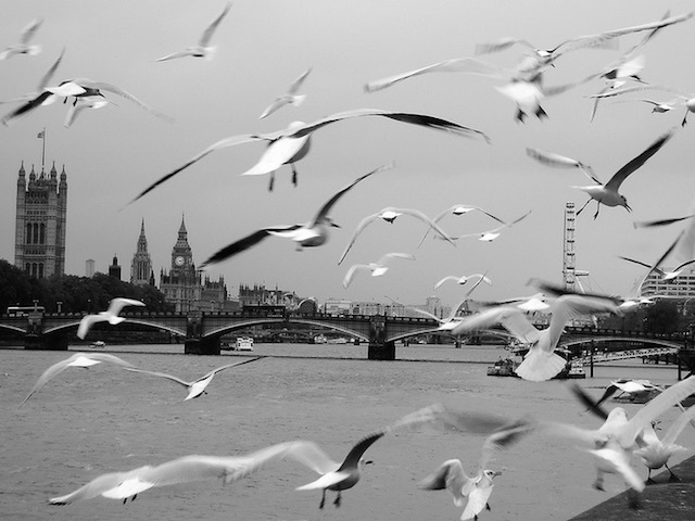 Herring gulls on the Albert Embankment in Vauxhall in 2012. Photo: Melanie Stanton