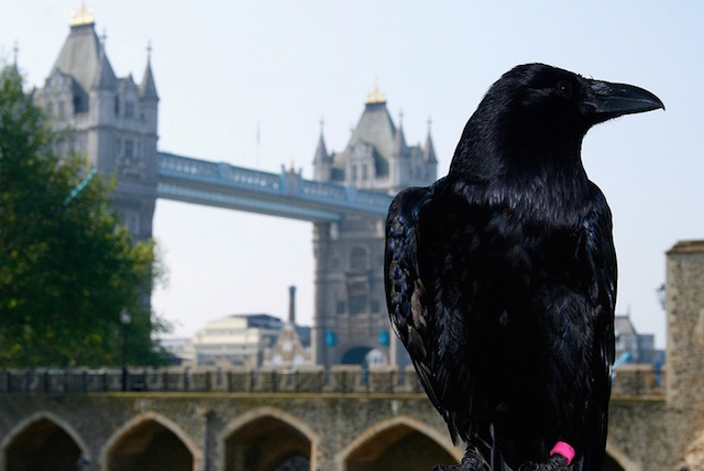 A raven at the Tower of London. Legend has it that the Tower, and the kingdom, will collapse if the ravens ever leave the Tower. Photo: Michael Garnett
