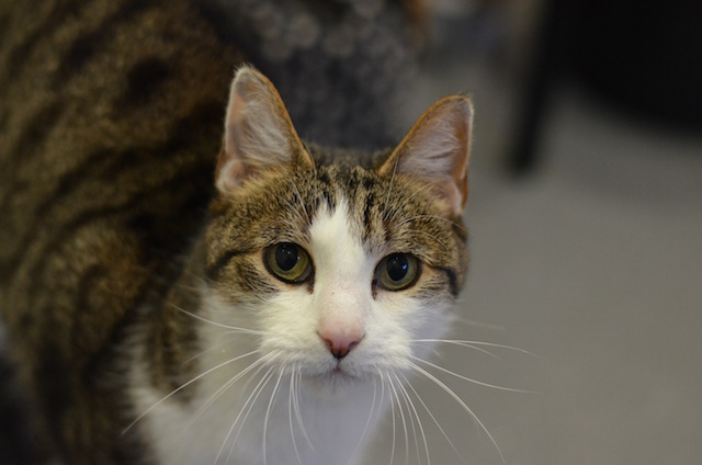 Eight year old Oscar is a Domestic Short-Hair cat who loves having affection heaped upon him.
