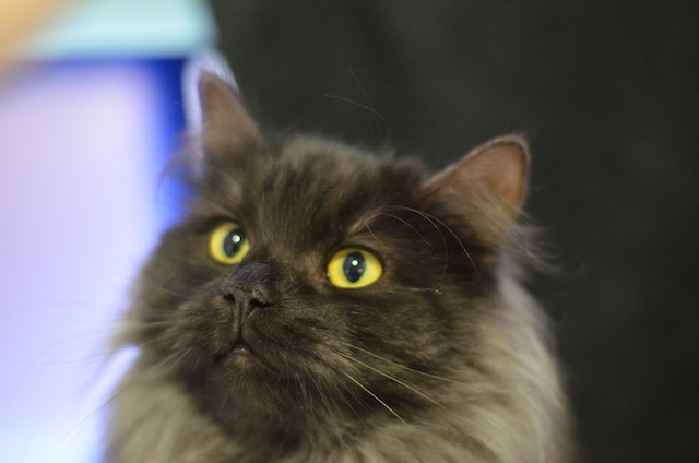 Pepsi, a one year old Domestic Long-Hair cat will need regular grooming to keep his coat in tip-top condition.