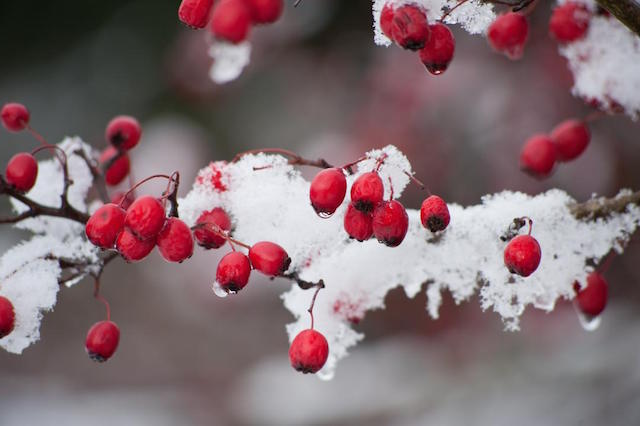 winter-berries.jpg