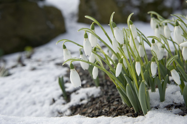 winter-snowdrop2.jpg