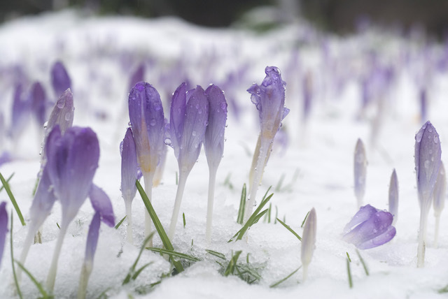 winter_crocus2.jpg
