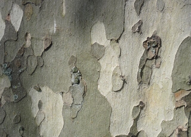 Secret History Of The London Plane Tree